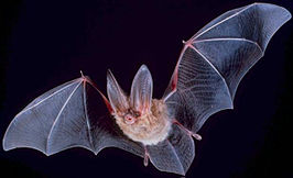 266px-Big-eared-townsend-fledermaus